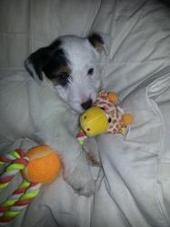 Havana, chien Jack Russell Terrier