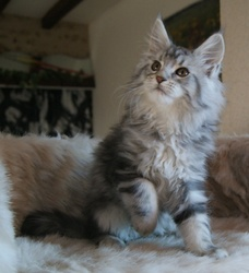 Havana, chat Maine Coon