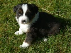Havane, chien Berger australien