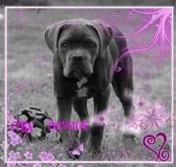Havane, chien Cane Corso