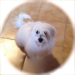 Havane, chien Coton de Tuléar