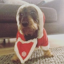 Havane, chien Teckel