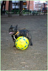 Havane , chien Bouledogue français