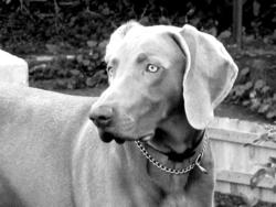 Havane, chien Braque de Weimar