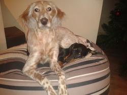 Havane, chien Setter anglais
