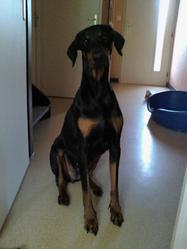 Havane, chien Dobermann