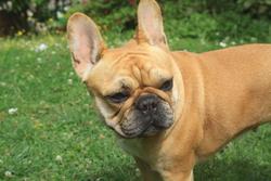 Havane, chien Bouledogue français