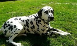 Havane, chien Dalmatien