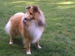 Havane, chien Berger des Shetland
