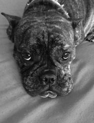 Havane, chien Bulldog