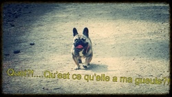 Havanna, chien Bouledogue français
