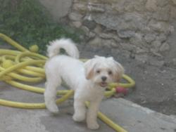 Havanna, chien Bichon à poil frisé