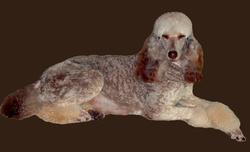 Havannah, chien Caniche