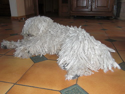 Havas, chien Puli
