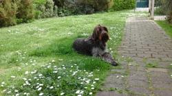 Haven, chien Griffon à poil dur Korthals