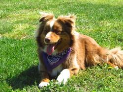 Hawai, chien Berger australien
