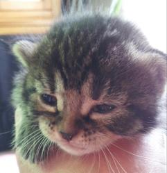 Hawai, chat Gouttière