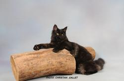 Hawai, chat Maine Coon