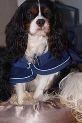 Hawai, chien Cavalier King Charles Spaniel