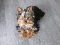 Hawai, chien Yorkshire Terrier