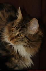 Hawaie, chat Maine Coon