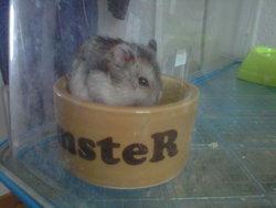 Hawaii, rongeur Hamster
