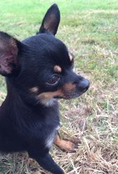Hawaii, chien Chihuahua