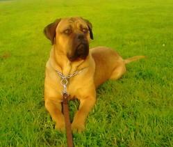 Hawaii, chien Cane Corso