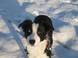 Hawk, chien Border Collie