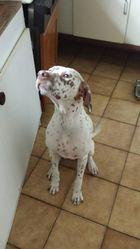 Haya, chien Dalmatien