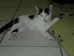 Hayate, chat Européen