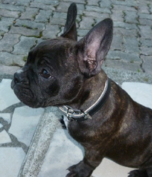Hayate, chien Bouledogue français