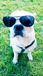Haycko, chien Bouledogue français