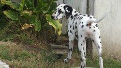 Haydee, chien Dalmatien
