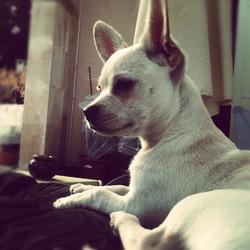 Hayden, chien Chihuahua