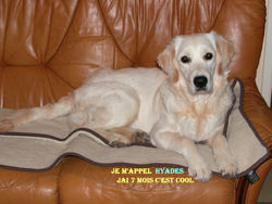 Hyads, chien Golden Retriever