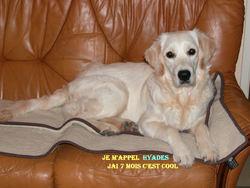 Hyads, chien Golden Retriever
