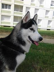 Hayko, chien Husky sibérien