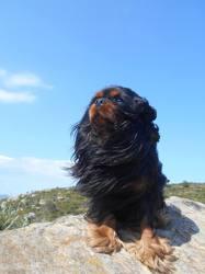 Hayko, chien Cavalier King Charles Spaniel