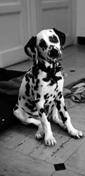 Hayko, chien Dalmatien
