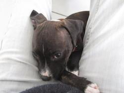 Hayko, chien Staffordshire Bull Terrier