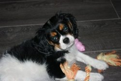 Haylee, chien Cavalier King Charles Spaniel