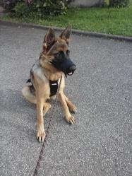 G-Haylee, chien Berger allemand