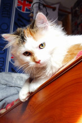 Hayley, chat Européen