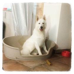 Hayson , chien Berger blanc suisse