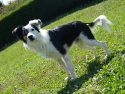 Haz, chien Border Collie