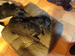Hazel, chien Labrador Retriever