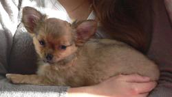 Hazel, chien Chihuahua