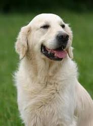 Header, chien Golden Retriever
