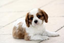 Healey, chien Cavalier King Charles Spaniel